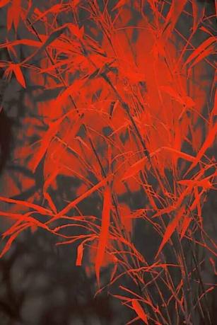 迎接夕阳的竹